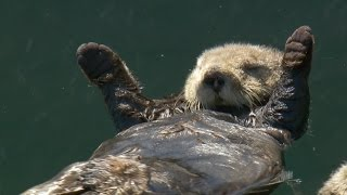 Matt Baker checks in on otter pups - Big Blue Live: Episode 3 - BBC One