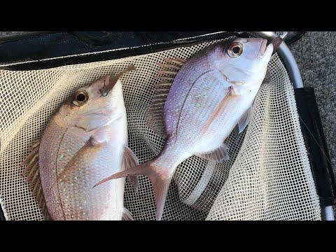 Moreton Bay Snapper On Plastics
