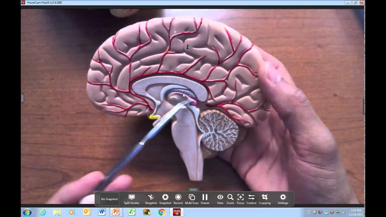 Brain Anatomy Regions And Landmarks Youtube