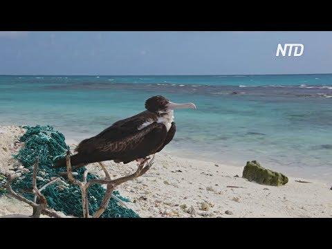 Альбатросы на атолле Мидуэй тысячами погибают, потому что едят пластик