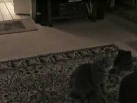 Manx cat Fetching