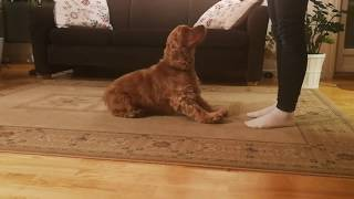 Training with a cocker spaniel  Part 2