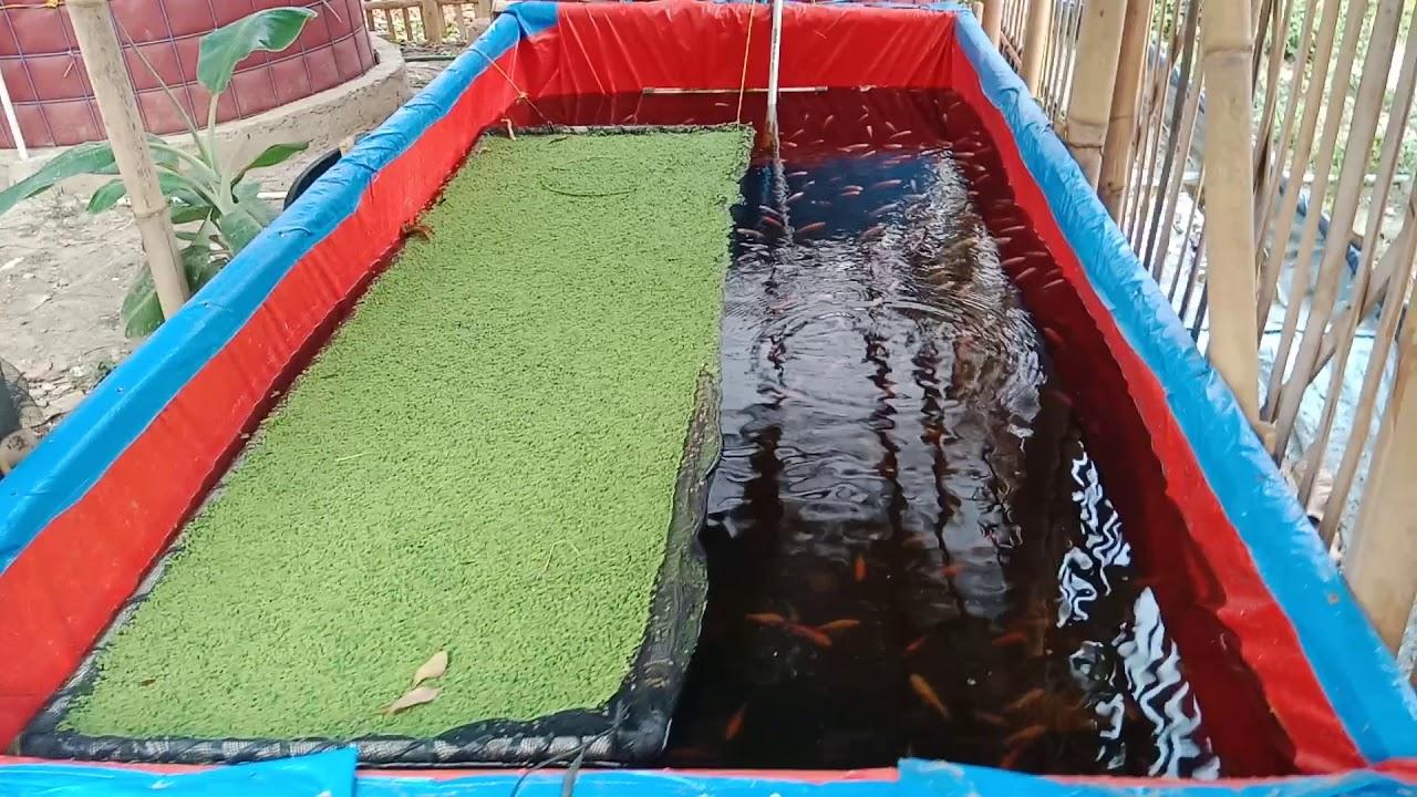 Budidaya ikan nila merah di kolam terpal, air tenang ...