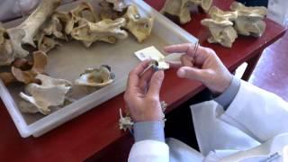 Анатомия животных. Шейный отдел. Часть 1