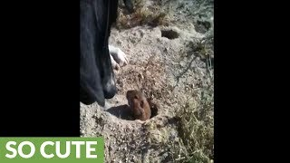 Fearless gopher tries to befriend gentle dog