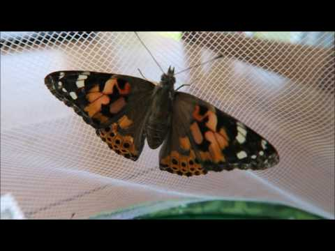 Painted Lady Butterfly Metamorphosis. Butterfly Garden from Insect Lore