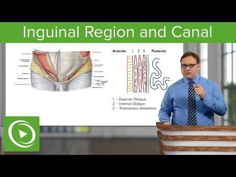 Inguinal Region & Canal – Abdomen | Lecturio