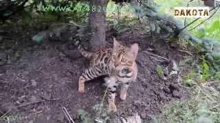 Дакота, первая прогулка, часть 6, самая красивая и самая умная в мире кошка бенгальской породы