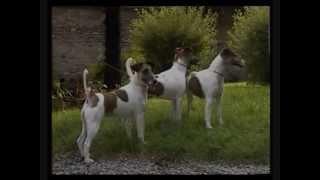 Собаки от А до Я гладкошерстный Фокстерьер.wmv