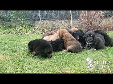 Tibetan Mastiff puppies first time outdoor