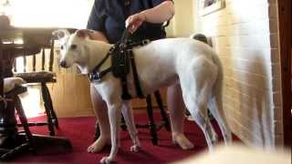Repeat youtube video Service Dog Uses Counterbalance To Help Handler Stand