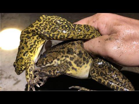Cách bắt ếch đồng đầu mùa mưa cực kỳ hiệu quả | THÚ VUI MIỀN TÂY. Tập 527