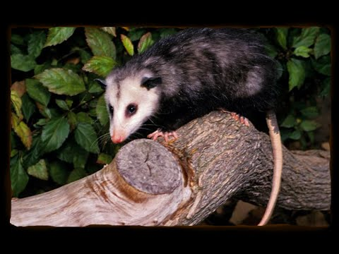 How to Catch a Opossum | No Live Trap Required | Redneck Style