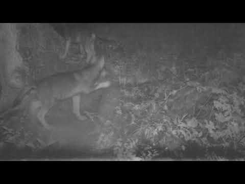 VIDEO. Un loup adulte et 7 louveteaux filmés en Suisse près de la frontière avec la Haute-Savoie - - France 3 Auvergne-Rhône-Alpes