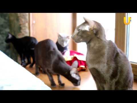 Ориентальная кошка. Стандарт породы и особенности содержания