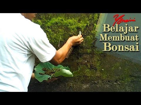 Hunting Lumut Hijau untuk Bonsai