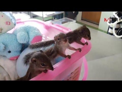 3 ลูกกระรอกเหยื่อไฟป่าดอยสุเทพโตวันโตคืนสวนสัตว์เชียงใหม่เตรียมประกวดตั้งชื่อ
