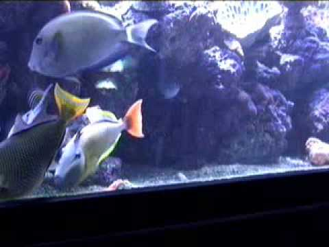 Crosshatch Triggerfish Aquarium Spawning