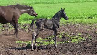 Video NoNo Secret A.S.(colt by Secret x Sorento x Jazz)...4,5 days young...first time out in the field... download MP3, 3GP, MP4, WEBM, AVI, FLV Juli 2018