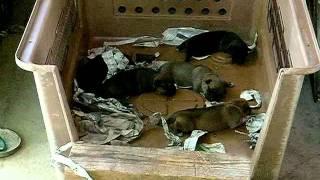 子犬誕生、両親共に単犬で猪を獲らしてくれます、25キロ位には成長す...