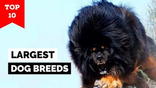 Top 10 Largest Dogs In The World
