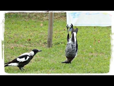 ПРИКОЛЫ С ПТИЦАМИ ПОДБОРКА(FUNNY BIRDS COMPILATION), приколы с животными(funny Animals) #456