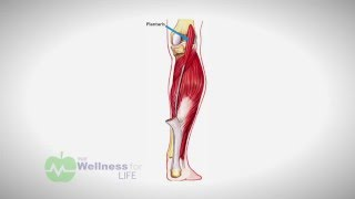 Pain to Performance: The Plantaris Muscle