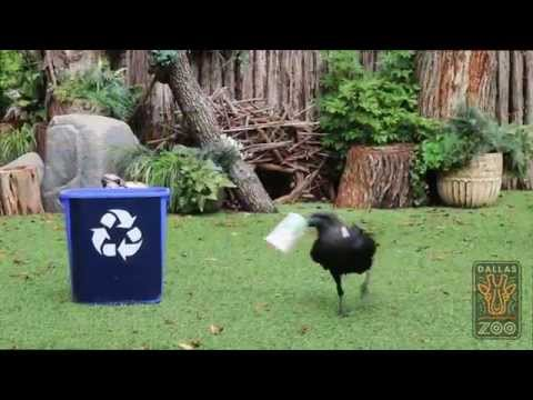 If Dallas Zoo's Raven Can Pick Up Litter, So Can You