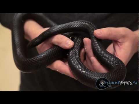Snake Bytes TV - Snakes That Are Right For You! SnakeBytesTV