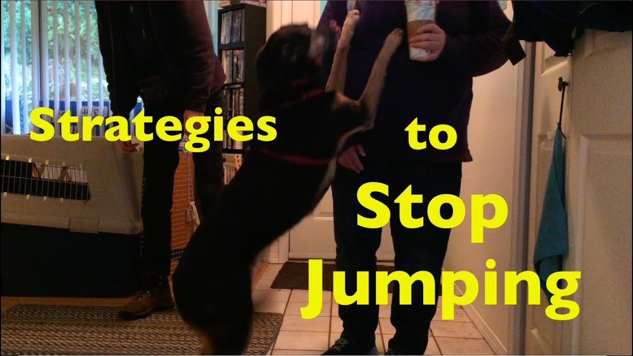5 Strategies To Stop Your Dog Jumping On Visitors At The Door Youtube