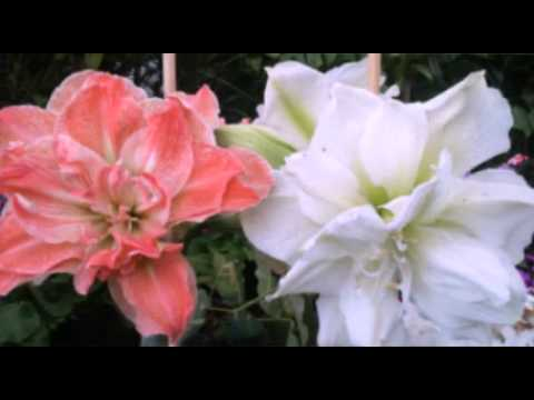 Bonitas Flores Azucenas Lirios Rosa Del Desierto Muchas Flores