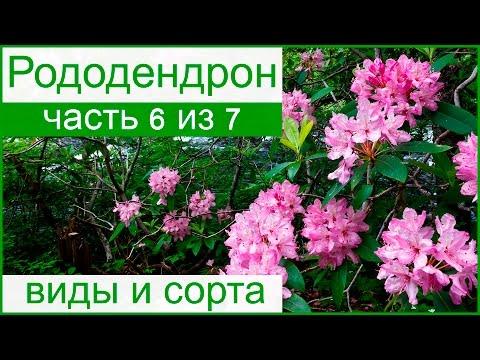 Рододендроны в моем саду. Фото, уход, посадка, цветы