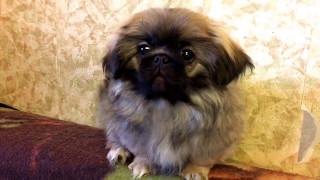 щенок пекинес девочка