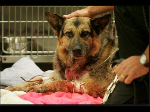 Man shoots Pit Bull that attacks German Shepherd - YouTube