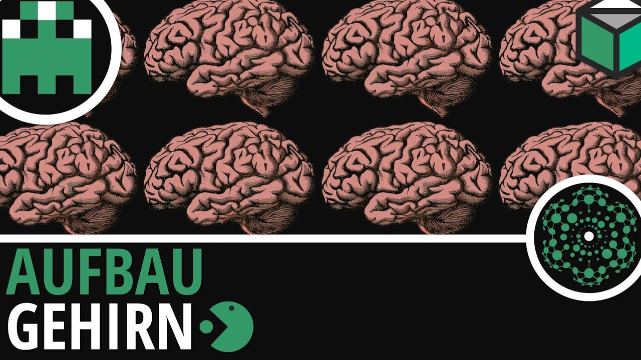 Aufbau Gehirn einfach erklärt│Biologie Lernvideo│Learning Level Up ...