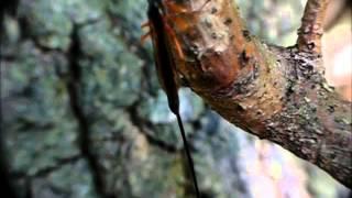 Riesenschlupfwespe (Dolichomitus imperator) Weibchen