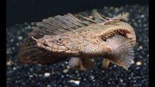 Cuidados del Polypterus Endlicheri Endlicheri (Bichir o pez dragón africano)