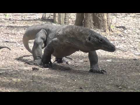 Cold Blooded Cousins - Record Breaking Reptiles of Indonesia (part 2)