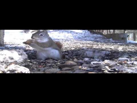 Red Squirrels vs. Grey Squirrels