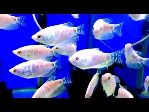 Аквариумная рыба -Гурами жемчужный. Аквариумистика
