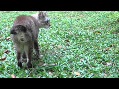 Singapura cat updates