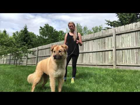 "Akita/Shepherd Mix ""Max"" l Behavior Modification l OLK9 Detroit"