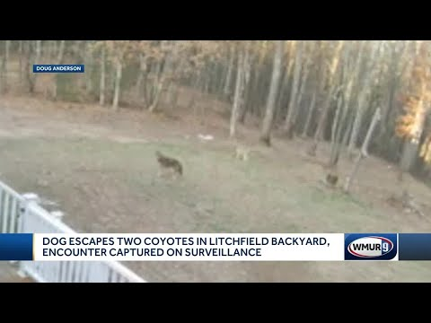 Dog escapes two coyotes in Litchfield backyard