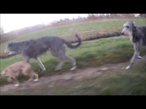 scottish Deerhound & Whippet dog touring bike tour