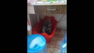 Кошка Мейн кун Юань загребает всё что видит)))