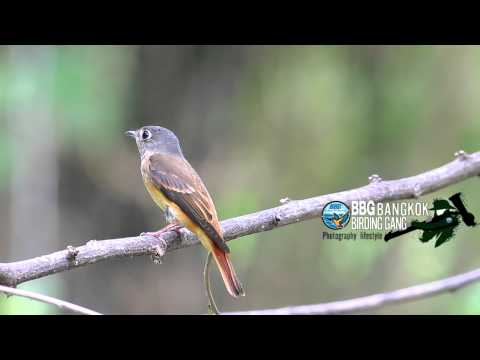 นกจับแมลงสีน้ำตาลแดง (Ferruginous Flycatcher)