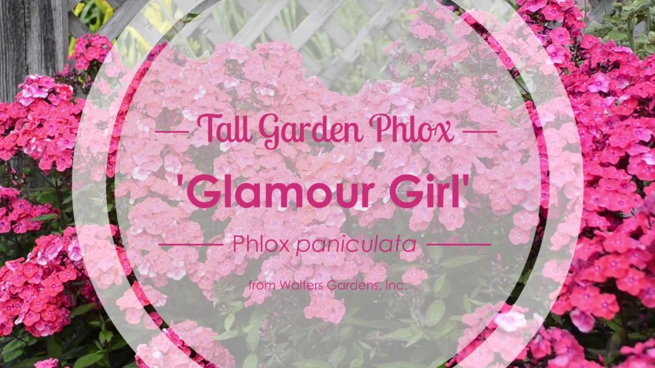 glamour girl tall garden phlox walters gardens - Tall Garden Phlox
