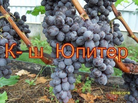 Виноград Беларуси . Лидчина .Сорт винограда - Арочный ...