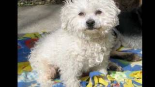 Angel - Toy Poodle - She Just Got Adopted!!!