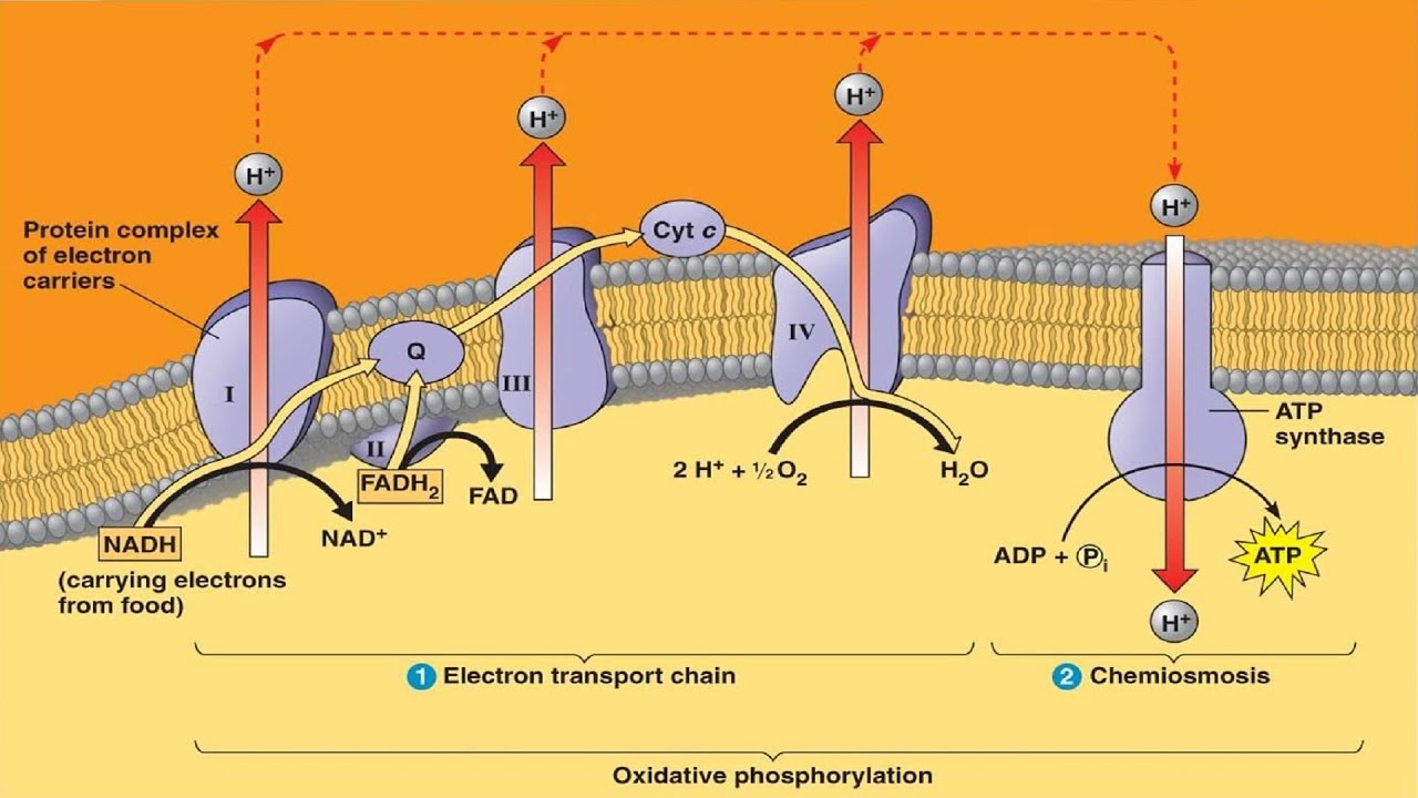 Electron Transport System and ATP Synthesis  YouTube
